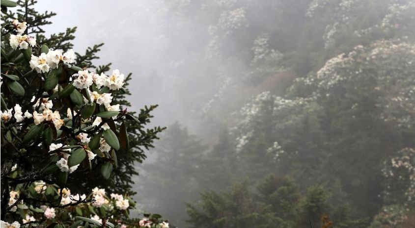 彭州4000米海拔高山杜鹃绽放如空中花海  不一样的角度看彭州-彭米网