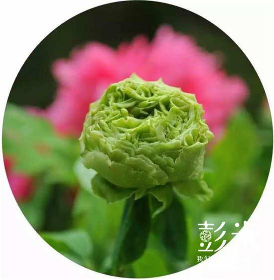 第三十五届成都(彭州)牡丹文化旅游节开幕-彭米网