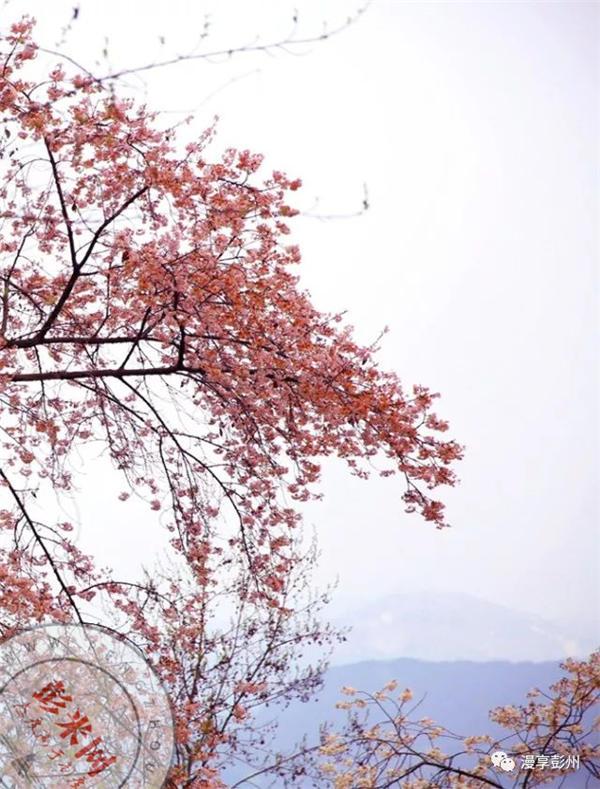 春风扑面惹人醉,樱桃花开俏争春|游彭州-彭米网