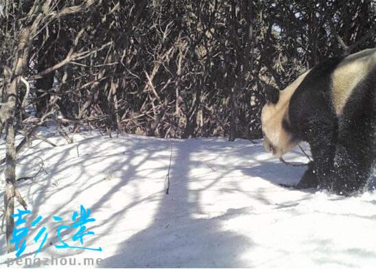 彭州白水河再现野生大熊猫-彭米网